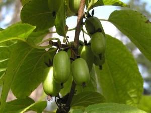 aktinidiya-rodstvennik-kivi-na-vashem-uchastke